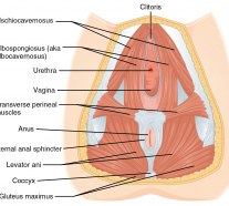 1116_Muscle_of_the_Female_Perineum